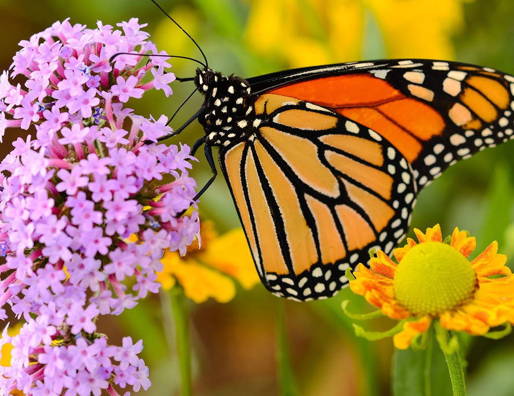 300 Reasons to Love San Antonio: #54 – Monarch Butterfly Migration
